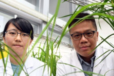 Increasing efficiency of cereal straw for biofuel production