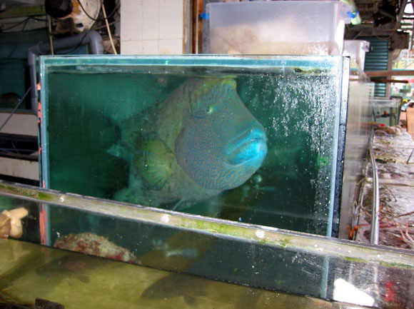 Large Fish Tanks : Fig. 1 Large humphead wrasse in small tank in Hong Kong. (Photo: Liu ...
