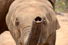 Elephants have a nose for quantity
